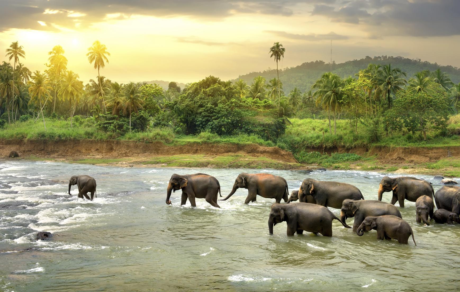 Herd of elephants walking in a jungle river